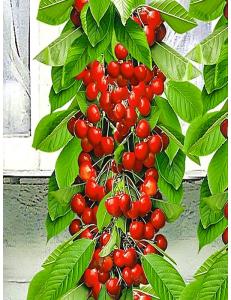 Колоновидная черешня Красная помада в Астрахани