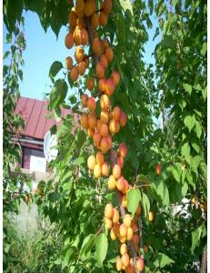 Колоновидный абрикос Первайс в Астрахани