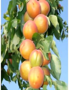 Колоновидный абрикос Радости жизни в Астрахани