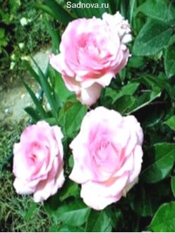 Саженцы Роз Беверли