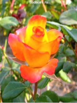 Саженцы Роз Бирди