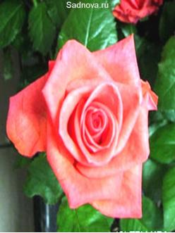 Саженцы Роз Рафаэлла