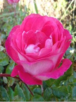 Саженцы Роз Роз Гожар