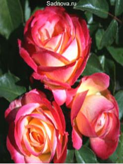 Саженцы Роз Контики