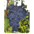 Виноград Викинг в Астрахани