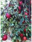 Яблоня Рихард в Астрахани