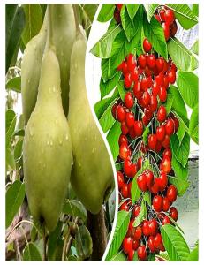 Комплект из 2-х сортов в Астрахани - Колоновидная груша Видная + Колоновидная черешня Красная помада