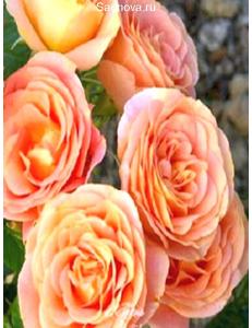 Роза Экзотика в Астрахани