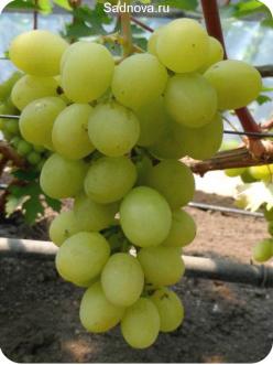 Саженцы Винограда Валек в Астрахани