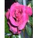 Саженцы Роз Биг Парпл в Астрахани