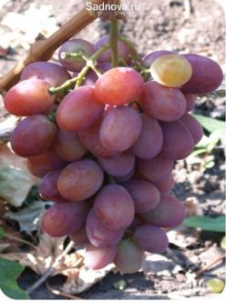 Саженцы Винограда Рубиновый юбилей в Астрахани