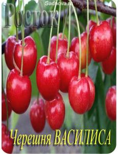 Черешня Василиса в Астрахани