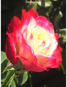Роза Дабл Дилайт в Астрахани