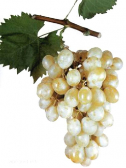 Саженцы Винограда Италия в Астрахани