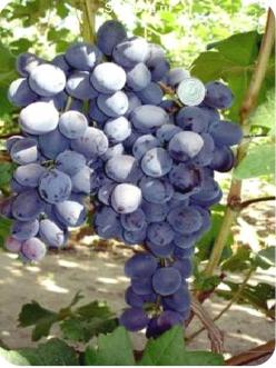 Саженцы Винограда Сфинкс в Астрахани