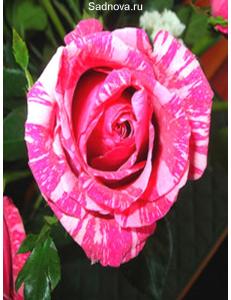 Роза Сатина в Астрахани