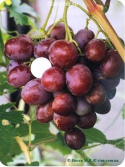Саженцы Винограда Атаман в Астрахани