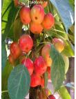 Яблоня Райская Яблоня в Астрахани