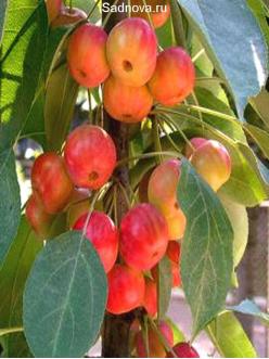 Саженцы Яблони Райская яблоня в Астрахани