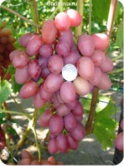 Саженцы Винограда София в Астрахани