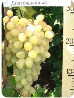 Саженцы Винограда Долгожданный в Астрахани