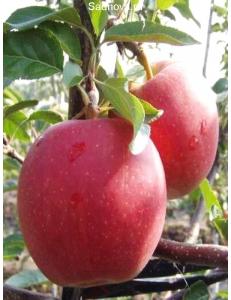 Яблоня Гала Маст в Астрахани