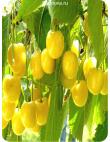 Черешня Дрогана Желтая в Астрахани