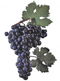 Саженцы Винограда Страшенский в Астрахани