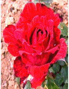 Роза Ред Интуишн в Астрахани