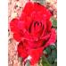 Саженцы Роз Ред Интуишн в Астрахани