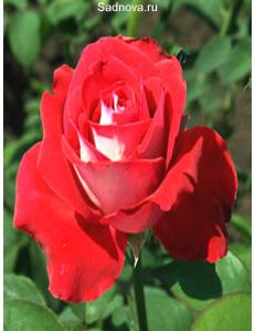 Роза Луксор в Астрахани