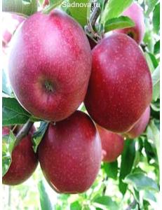 Яблоня Книп-Баум Ред Джонапринц в Астрахани