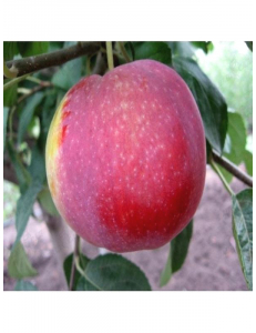 Яблоня Виста Белла в Астрахани