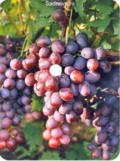 Саженцы Винограда Низина в Астрахани