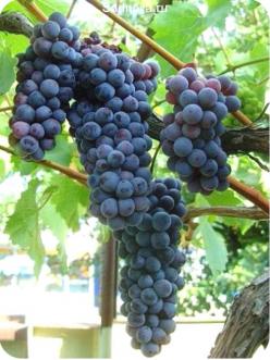 Саженцы Винограда Черный жемчуг в Астрахани