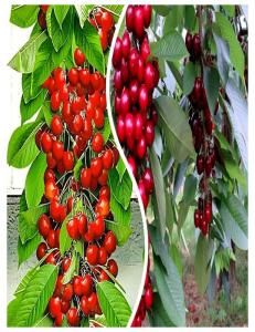 Комплект из 2-х сортов в Астрахани - Колоновидная черешня Красная помада + Колоновидная черешня Квин Мери