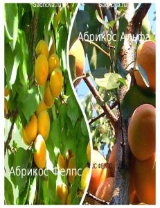 Комплект из 2-х сортов в Астрахани - Абрикос Альфа + Абрикос Фелпс