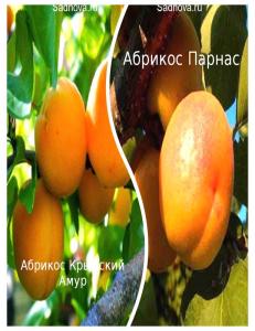 Комплект из 2-х сортов в Астрахани - Абрикос Парнас + Абрикос Крымский Амур