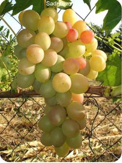Саженцы Винограда Лия в Астрахани