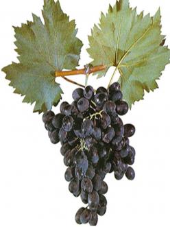 Саженцы Винограда Молдова в Астрахани