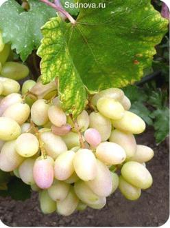 Саженцы Винограда Преображение в Астрахани