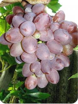 Саженцы Винограда Прометей в Астрахани