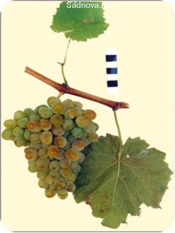 Саженцы Винограда Сашенька в Астрахани