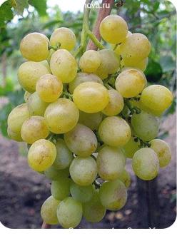 Саженцы Винограда Восторг в Астрахани